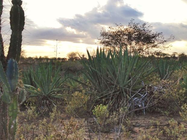 Valente já produziu 500 toneladas de sisal por mês; hoje não produz uma tonelada (Foto: Henrique Mendes / G1)