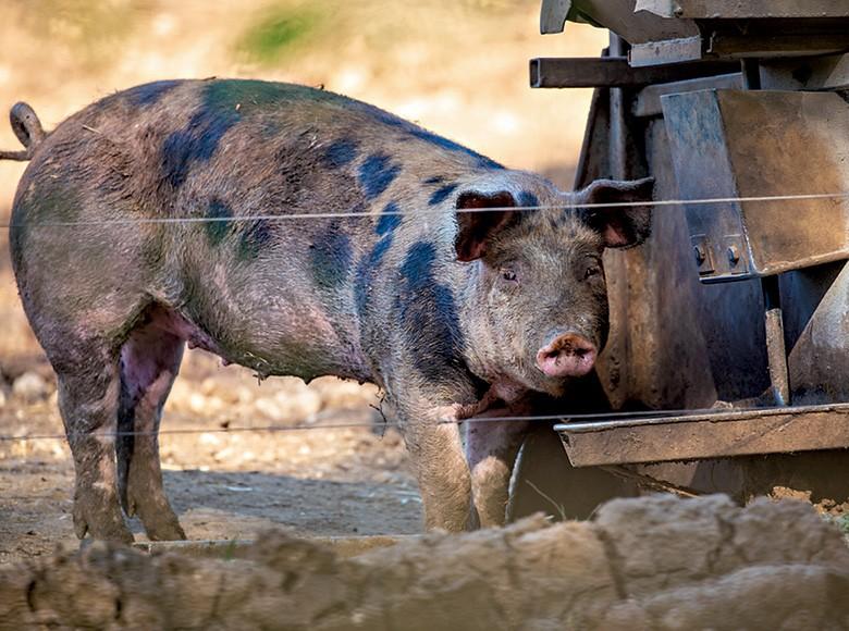 Como criar porco caipira (Foto:  )