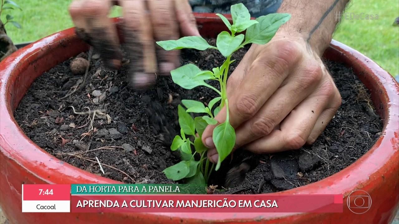 Viva o Verde: aprenda a cultivar manjericão em casa