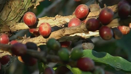 Preço da saca de café diminui e preocupa produtores da região de Itapetininga
