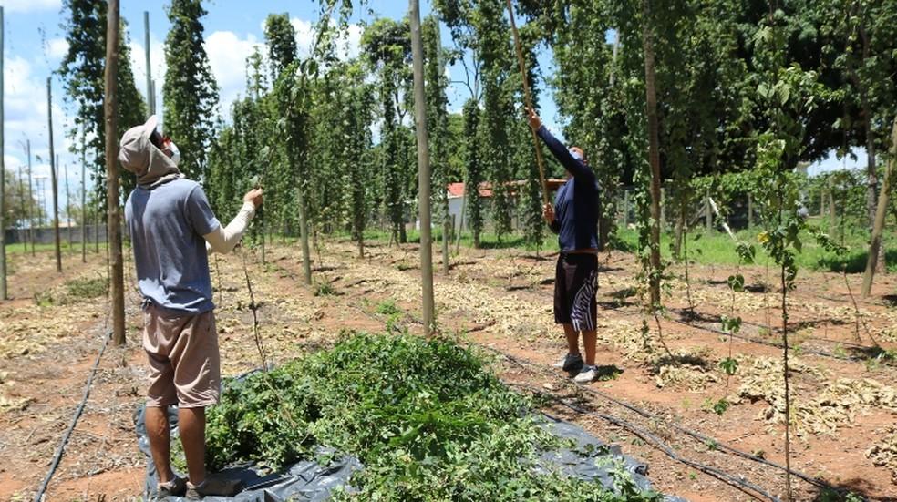 No processo de colheita do lúpulo, a parte aérea da planta é arrancada no tronco — Foto: Emater-DF/Divulgação