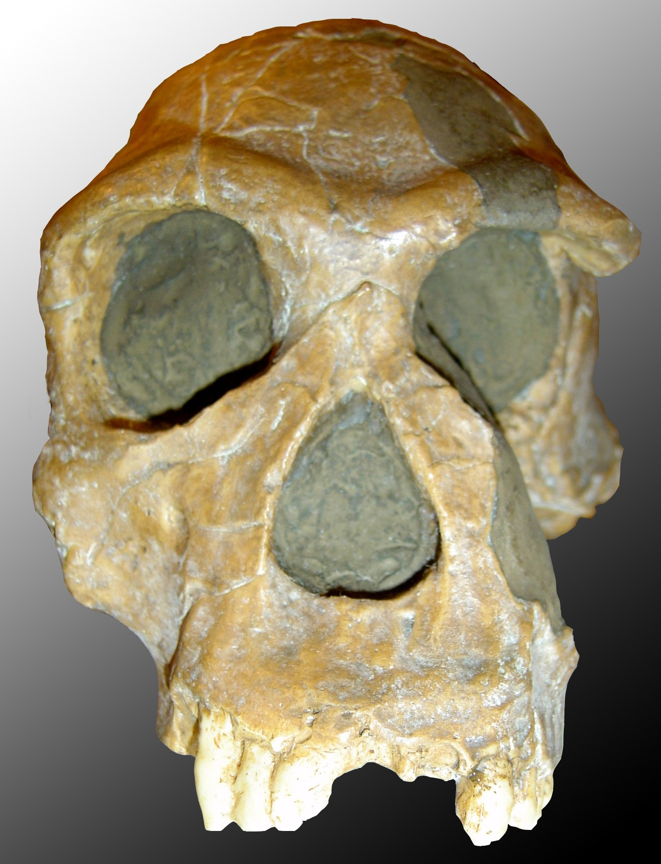 Crânio de um Homo habilis. (Foto: Wikipedia Commons)