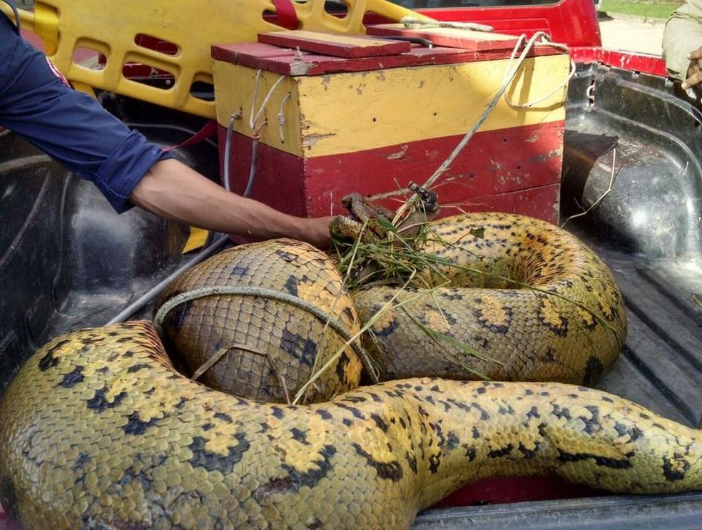 Animal tem mais de seis metros (Foto: Corpo de Bombeiros/Divulgação)