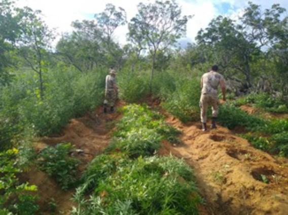 Duas plantações com 6 mil pés de maconha são encontradas com a ajuda de drone no norte da Bahia