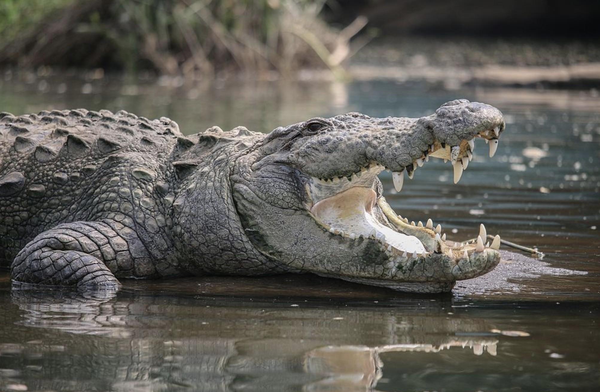 Crocodilos e jacarés são animais com parentesco mais próximo dos dinossauros (Foto: Goutham89/ Wikimedia Commons)