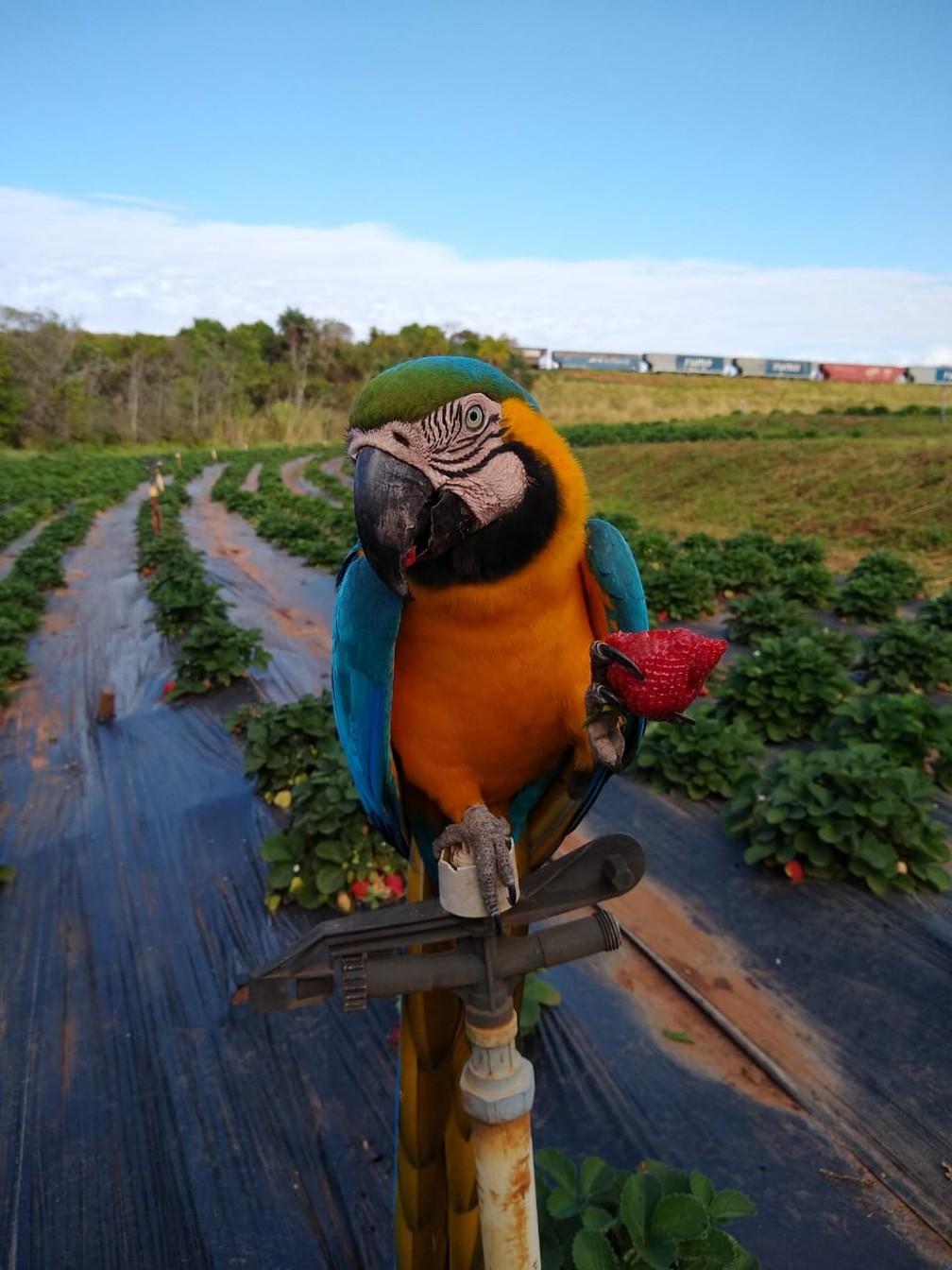 Arara-canindé 'posa' para fotos em propriedade rural em Urânia  — Foto: Bruno Aparecido