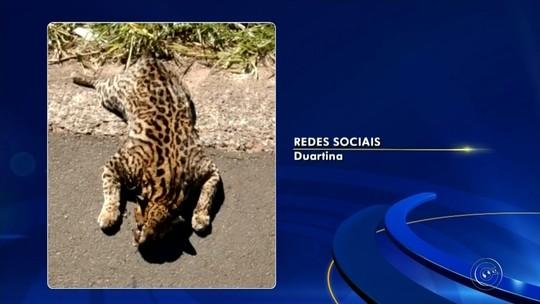 Jaguatirica é encontrada morta às margens de rodovia