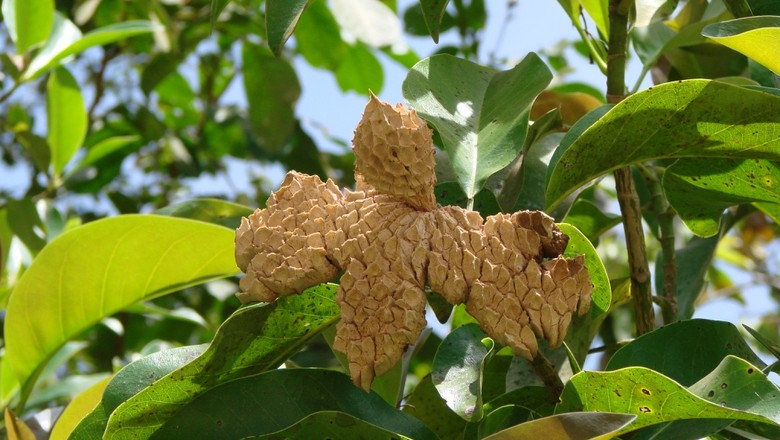 Magnolia ovata - pinha-do-brejo (Foto: Flickr/João Medeiros/Creative Commons )