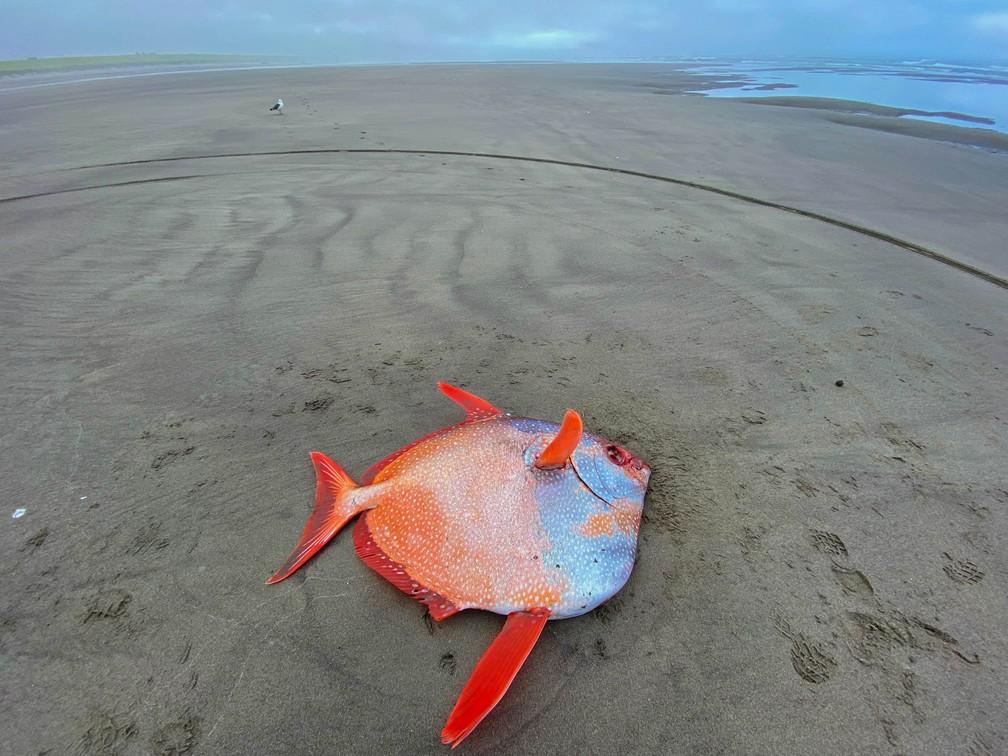 Peixe-lua encalha em praia do Oregon, nos EUA, em 14 de julho de 2021 — Foto: Seaside Aquarium