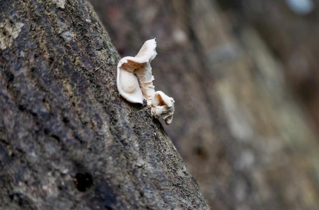 Técnica de cultivo de cogumelos em toras de madeira pode ajudar renda de pequenos proprietários rurais no AM - Notícias - Plantão Diário