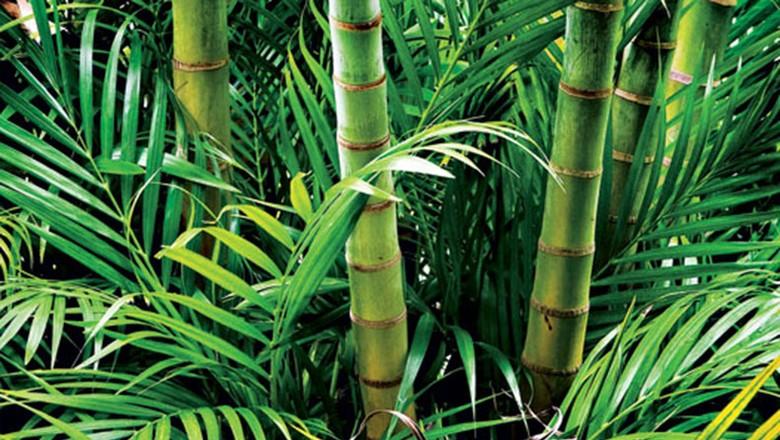 como_plantar_bambu (Foto:  )