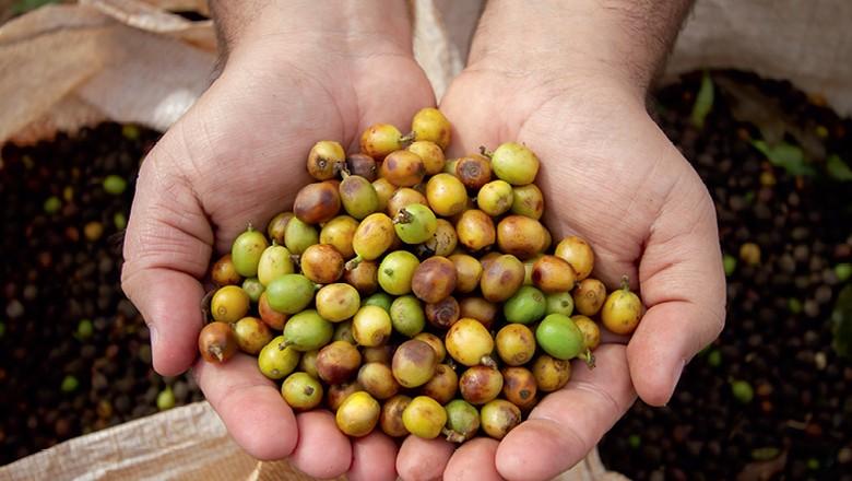 Plataforma permite aos cafeicultores vender grãos especiais diretamente ao consumidor. Na foto: Café recém-colhido (Foto: Rogerio Albuquerque)
