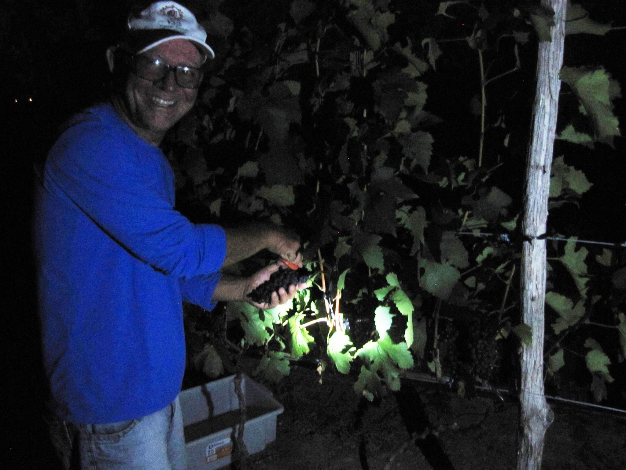 José Figueiredo colhendo uvas na madrugada