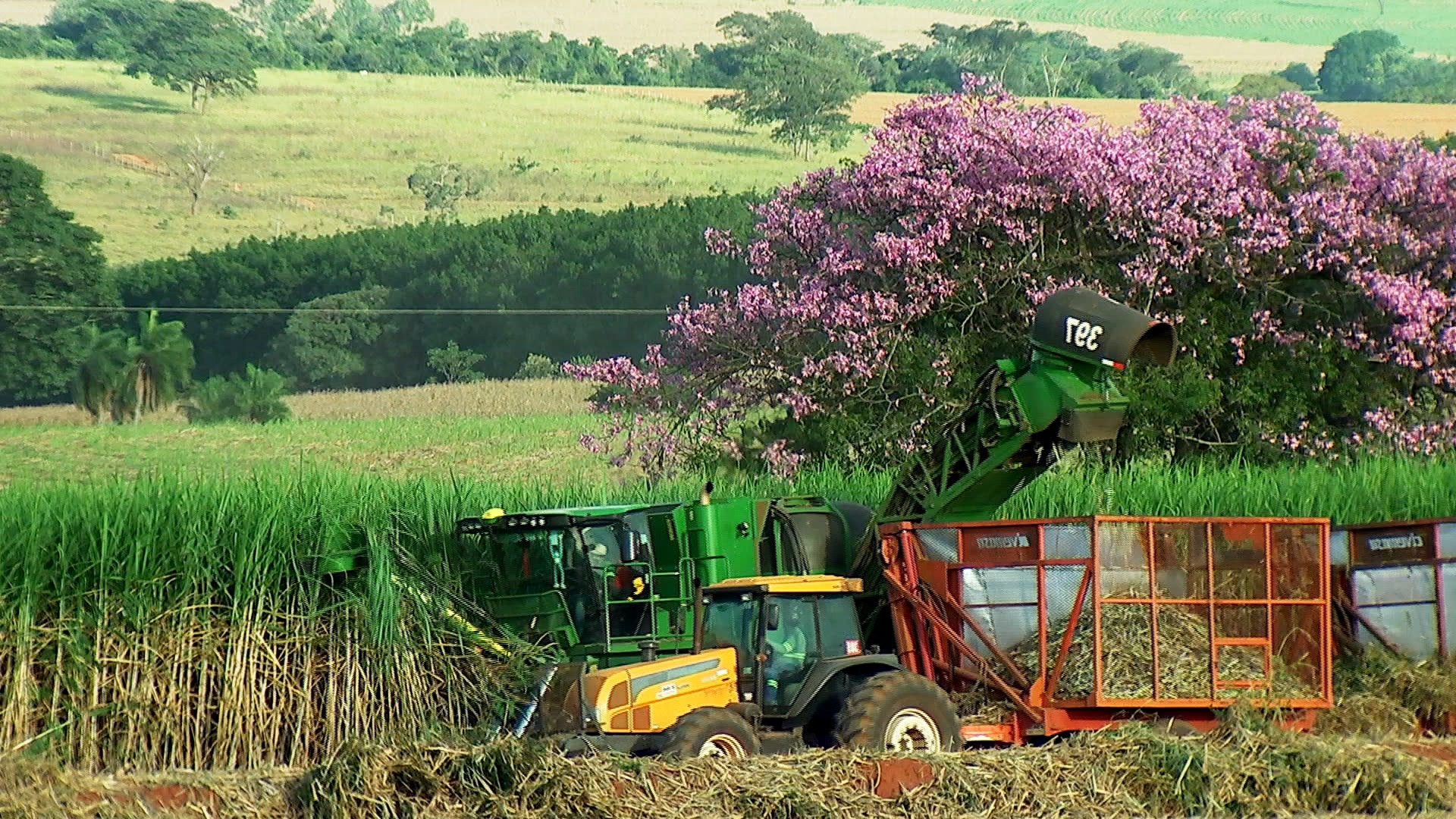 Clima compromete produtividade de cana no noroeste paulista