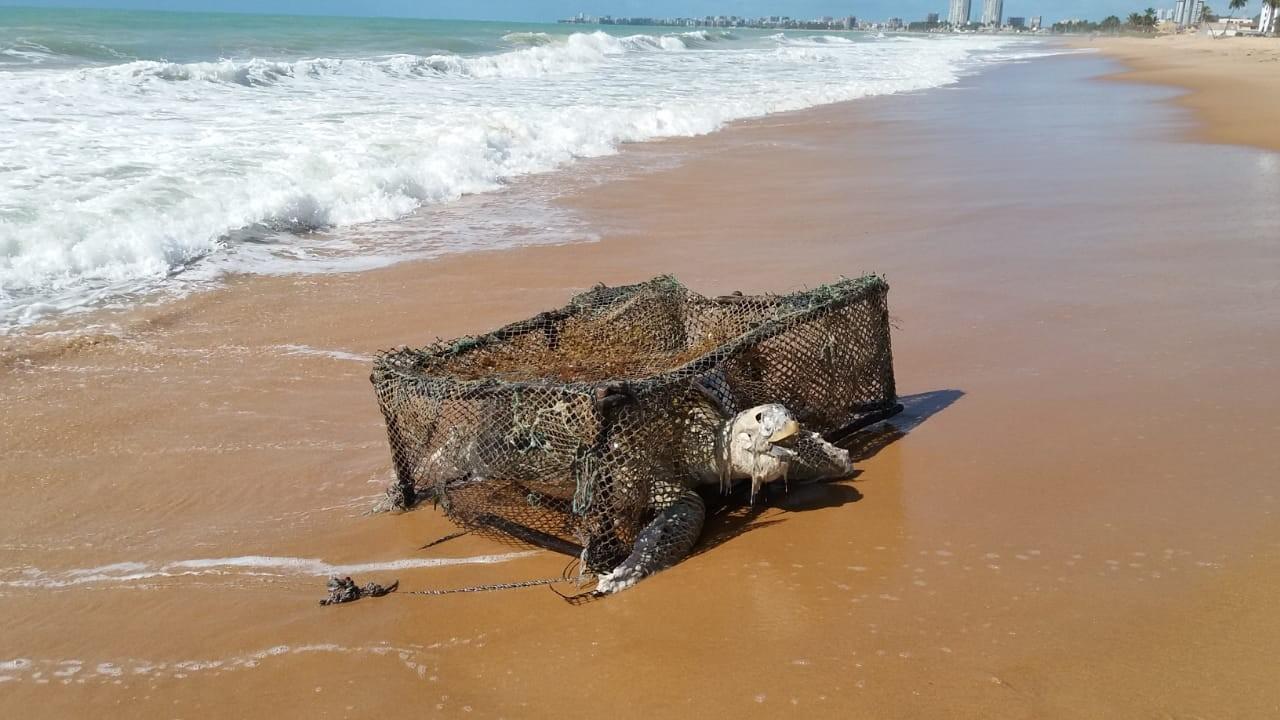 Tartaruga é encontrada morta dentro de armadilha de pesca na Praia de Jacarecica, em Maceió - Notícias - Plantão Diário