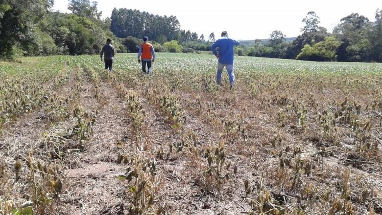 Estiagem do milho no RS (Foto: Defesa Civil/RS)