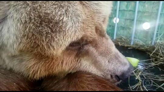 Casal de ursos chega a santuário de animais em Joanópolis; FOTOS
