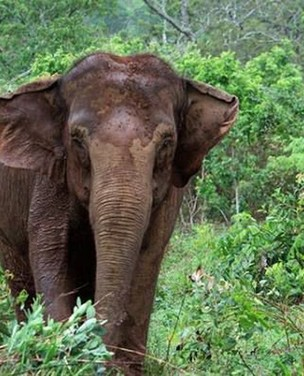 Esterco de elefante vira papel