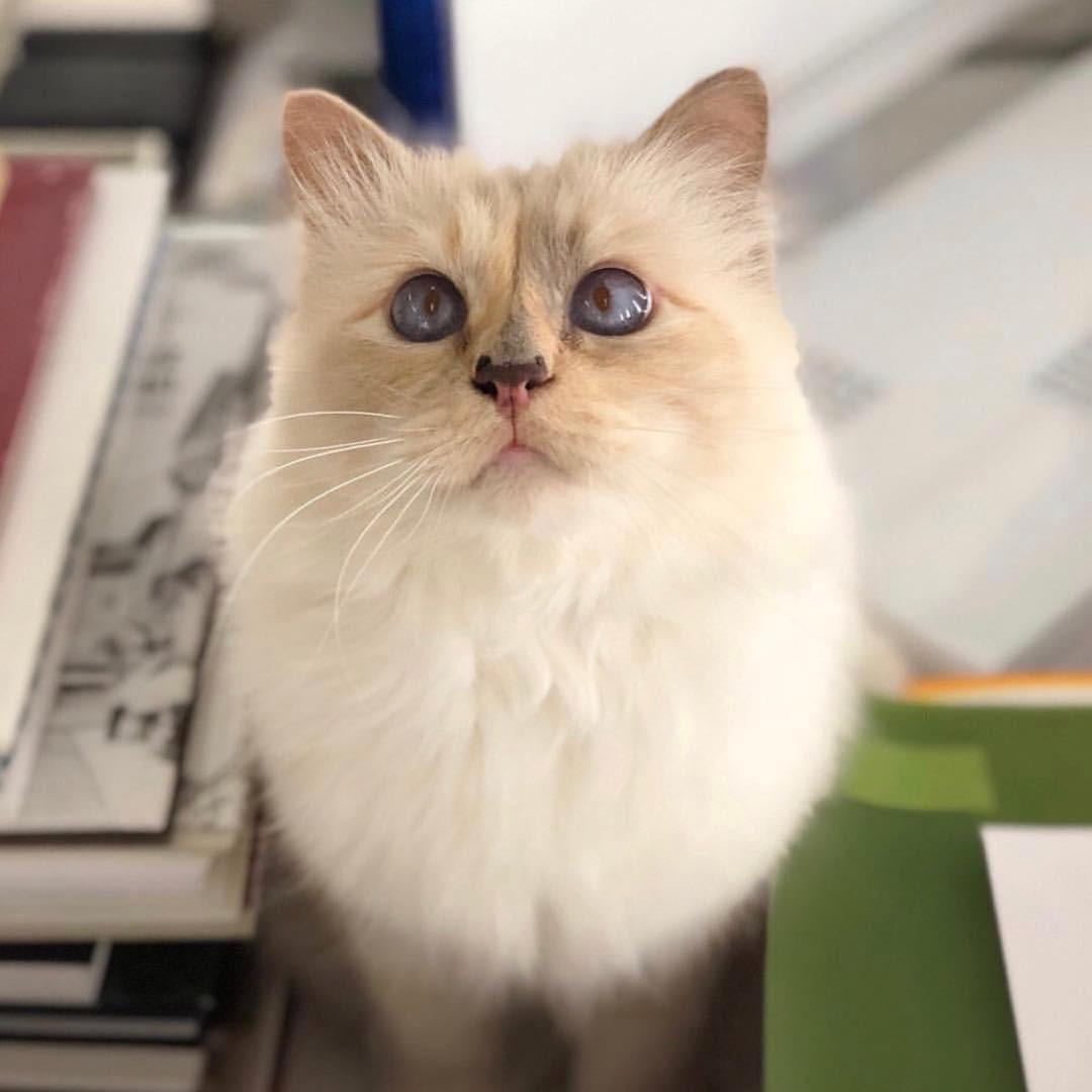 Choupette e seus olhos azuis (Foto: Reprodução/ Instagram)