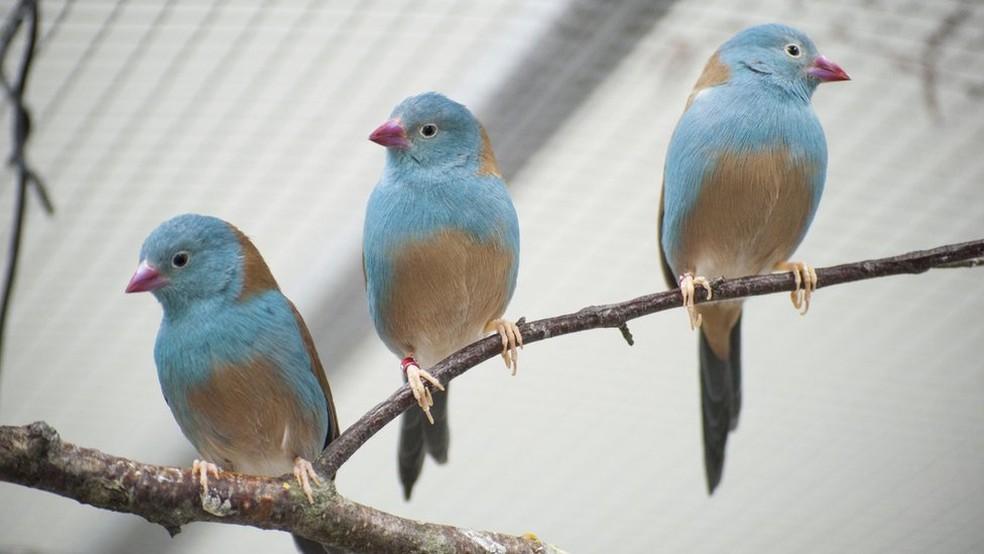Pesquisadores analisaram o comportamento do cordon-bleu-de-cabeça-azul — Foto: Nao Ota/BBC
