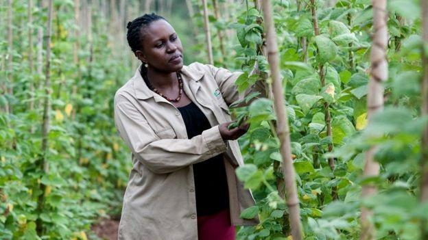 Especialistas em plantas em Uganda estão melhorando os meios de subsistência agrícola no país, introduzindo a agricultores variedades de culturas com melhor resistência à seca e doenças (Foto: GEORGINA SMITH / CIAT, via BBC News Brasil)