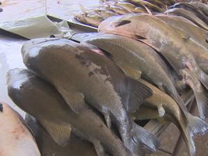 Peixe tambaqui, Porto Velho, RO (Foto: Rede Amazônica/ Reprodução)