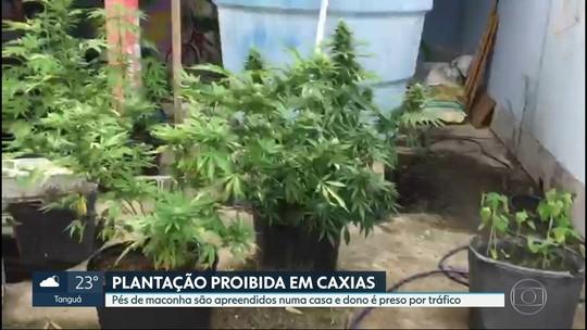 Trinta pés de maconha são apreendidos em Duque de Caxias, na Baixada Fluminense