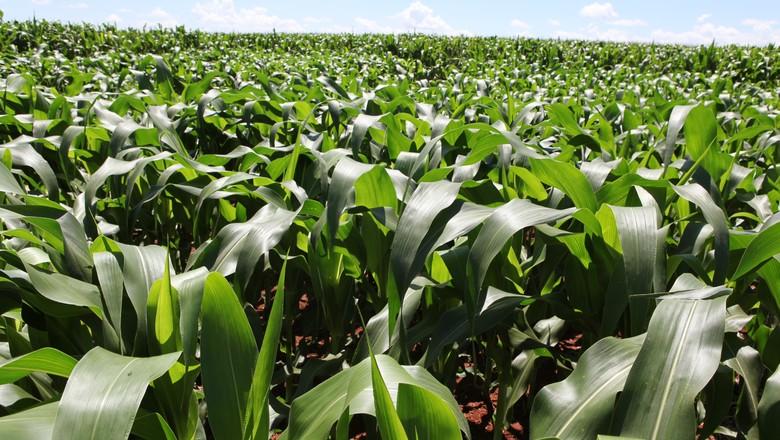 milho-plantação-graos (Foto: Rogério Albuquerque/Ed. Globo)