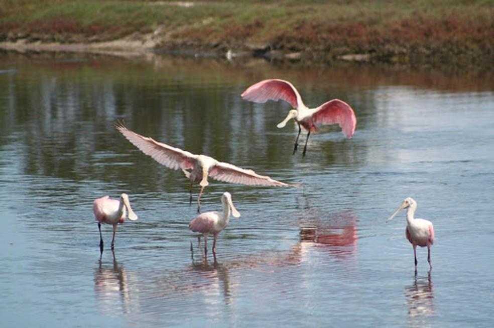 Colhereiros na Lagoa de Araruama. — Foto: Geraldo Lima