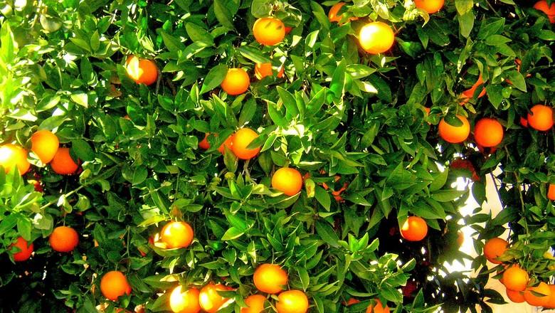 laranja-laranjeira (Foto: Pxhere/CreativeCommons)