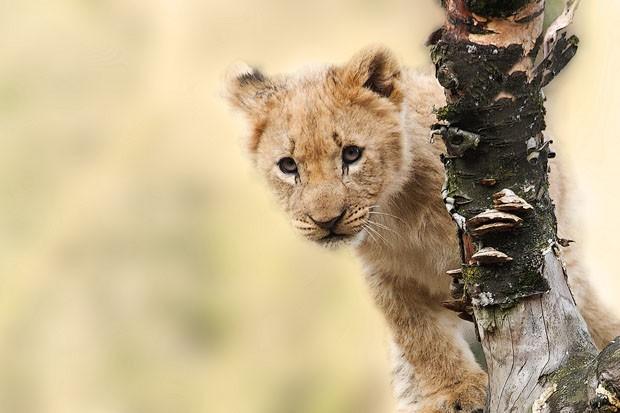 Filhote de leão (Foto: Pexels)