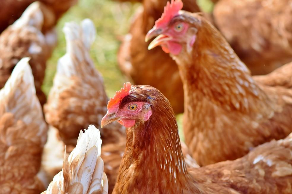 Bilhões de animais são abatidos anualmente para alimentar a população — Foto: Pixabay
