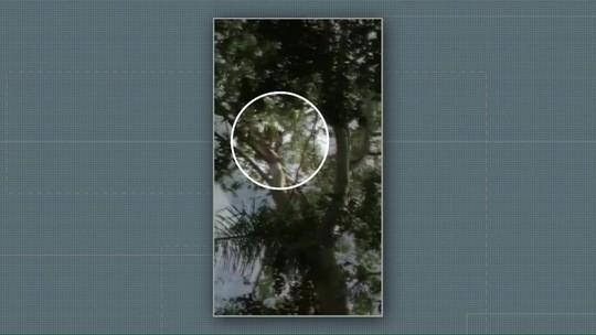 Onça-parda é flagrada em cima de árvore, em Nova Santa Rosa; VÍDEO