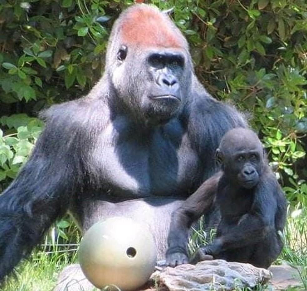 Gorilas de zoológico nos EUA recebem tratamento para Covid-19 | Natureza |  G1