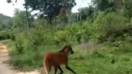 Moradores encontram lobo-guará em terreno baldio em Colíder (MT)