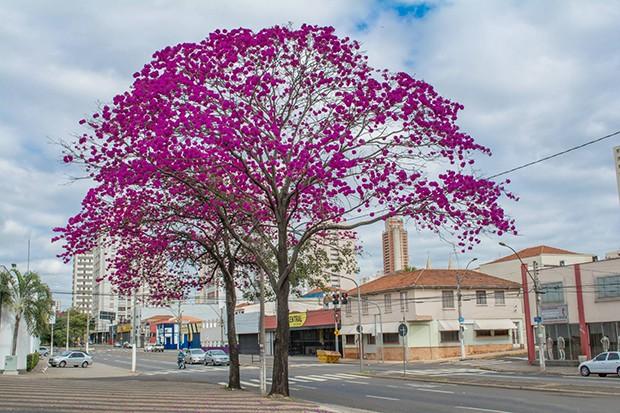 Fisioterapeuta retrata ipês-rosas, um espetáculo da natureza em Piracicaba (Foto: Helder do Prado Sousa/Você no TG)