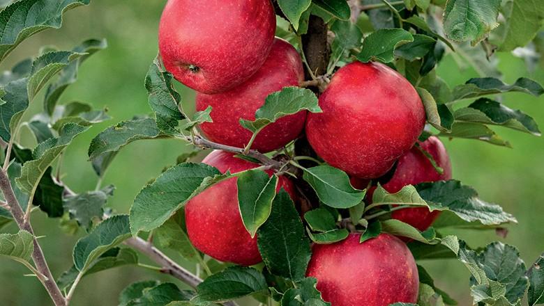 Maçã - Fruticultores querem testar o paladar brasileiro para novos tipos  de maçãs a fim de diversificar a produção, concentrada em fuji e gala (Foto: Carlos Stein)