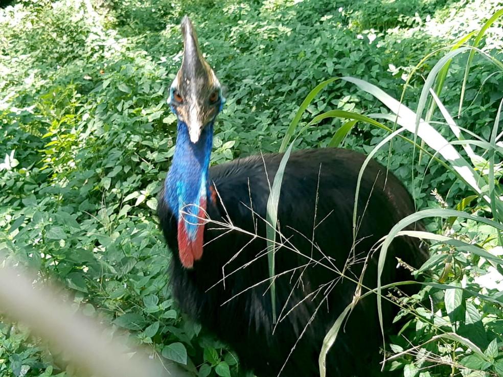 Quando adulto, o casuar pode pesar até 50 quilos: especie chegou ao zoo bauruense em 2000 — Foto: Zoológico de Bauru/Divulgação