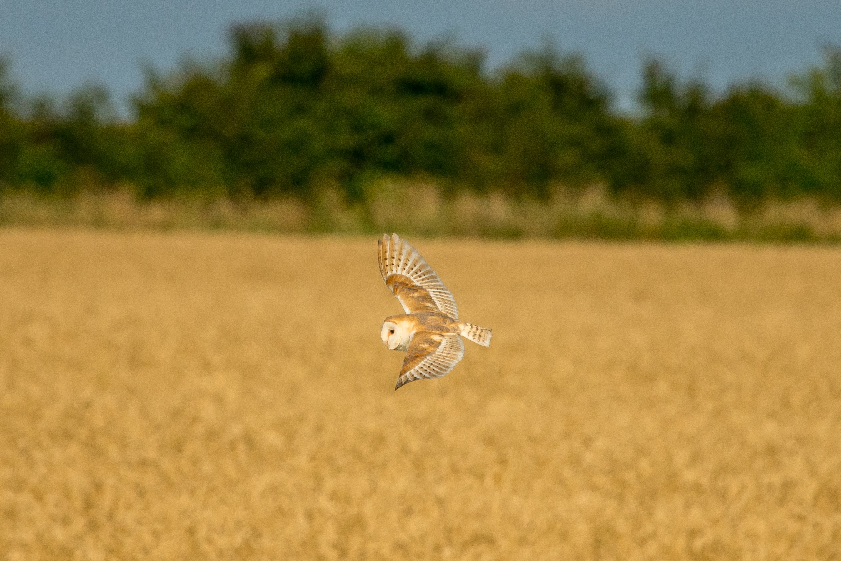 coruja_campo_aves (Foto: Getty Images)