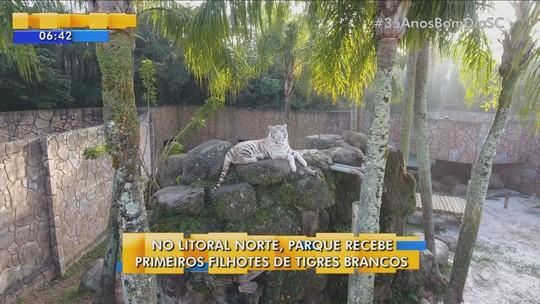 Parque apresenta três tigres brancos ao público em Penha