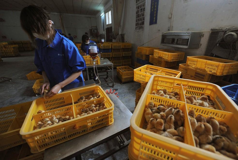 Trabalhadores vacinam pintinhos com a vacina contra a gripe aviária H9 em uma fazenda no condado de Changfeng, na província de Anhui, em 14 de abril de 2013 — Foto: Reuters