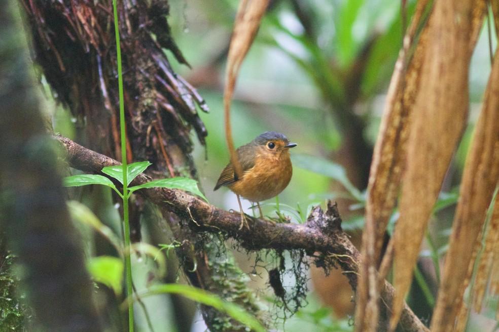 Grallaria nana foi uma nova ave descoberta para o Brasil e tem ocorrência registrada também na Colômbia — Foto: Gabriel Leite/Acervo Pessoal