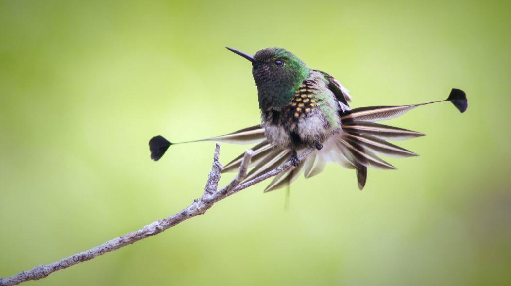 Beija-flor-bandeirinha é destaque no acervo de amante da natureza