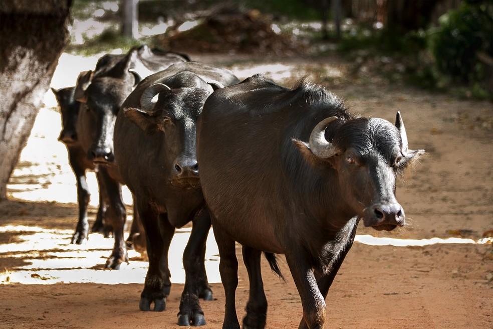 Búfalos do Marajó — Foto: Celso Lobo/ Arquivo Pessoal