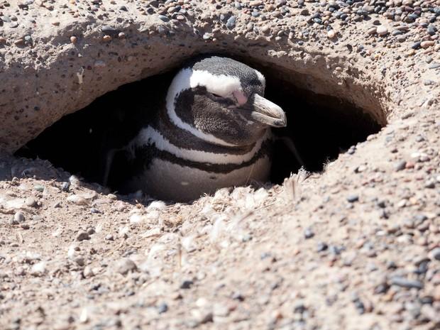 Globo Repórter - Patagônia argentina - Pinguim de Magalhães no ninho (Fot Rede Globo)