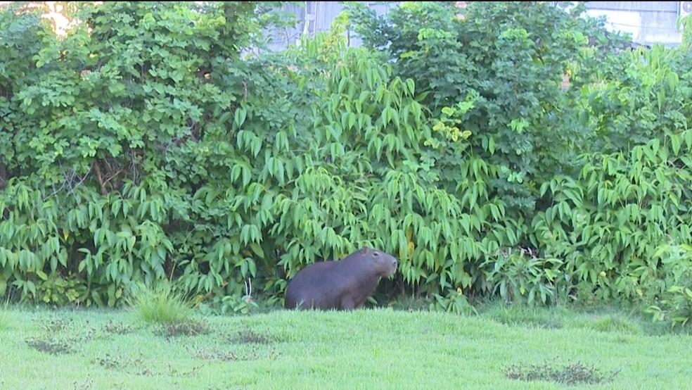 Animal sobrevive em uma área de 200 metros quadrados no centro da cidade  (Foto: Reprodução/ Rede Amazônica )