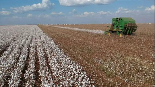 Produtores de algodão de MT apelam para colheita noturna para garantir calendário da soja