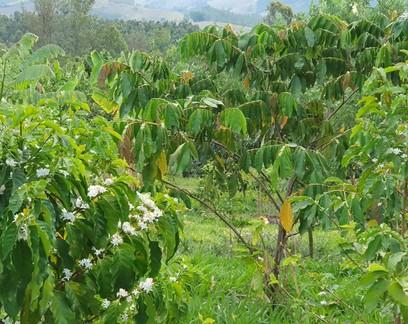 Sistema agroflorestal reduz em 87% o custo com adubação para produzir café orgânico