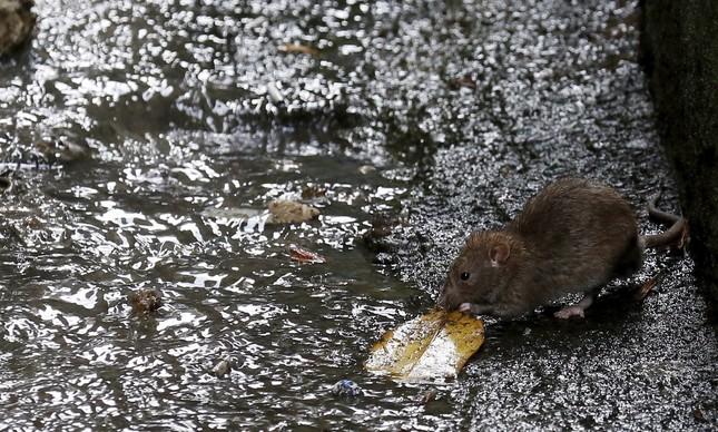 No morro do Vidigal, esgoto a céu aberto e ratos