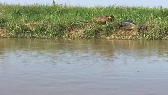 Guia de turismo flagra ataque de onça a jacará no Pantanal; VÍDEO